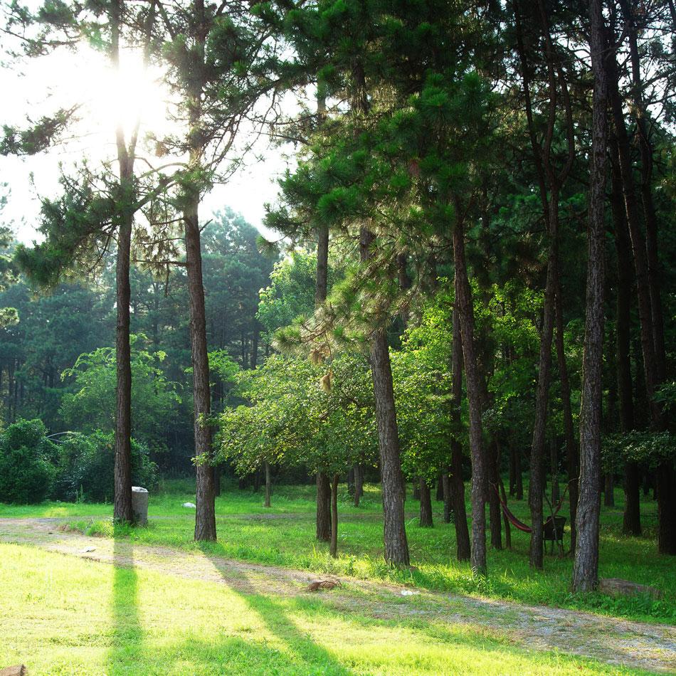 阳光下的松林